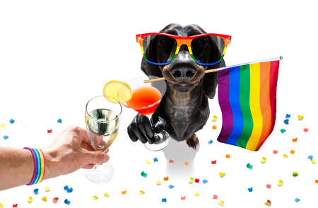 crazy funny dachshund sausage dog proud of human rights ,sitting and waiting, with rainbow flag tie and sunglasses , cheers with cocktail a toast Stock Photo