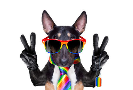crazy funny pitbull dog proud of human rights ,sitting and waiting, with rainbow flag tie and sunglasses , isolated on white background