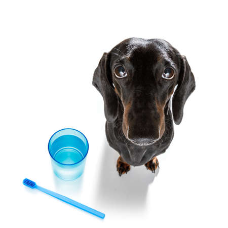 sausage dachshund dog holding a toothbrush with mouth , isolated on white background
