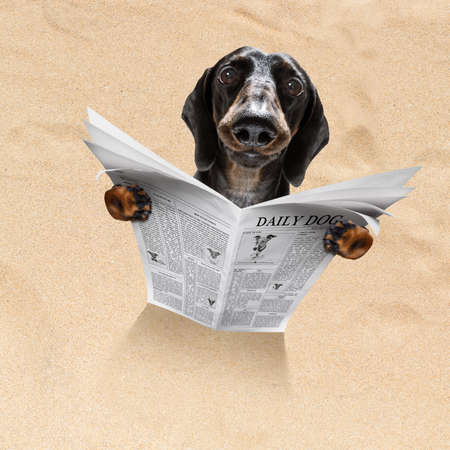 sausage dachshund dog at the beach reads newspaper in sand under umbrella on summer holiday vacation at the ocean beach Stockfoto - 124868229