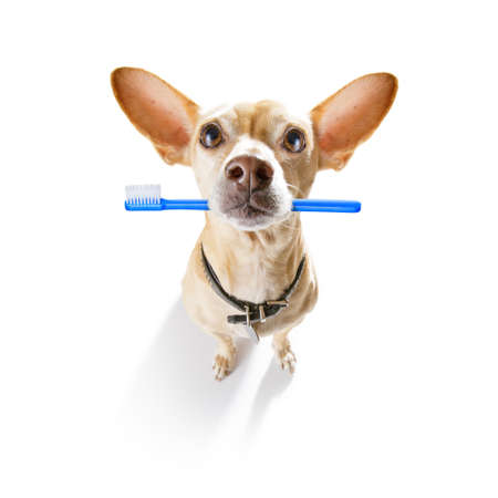 chihuahua dog holding a toothbrush with mouth at the dentist, isolated on white background