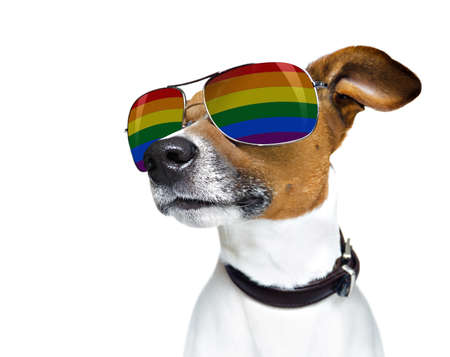 crazy funny jack russell dog proud of human rights ,sitting and waiting, with rainbow flag and sunglasses , isolated on white background Stock Photo