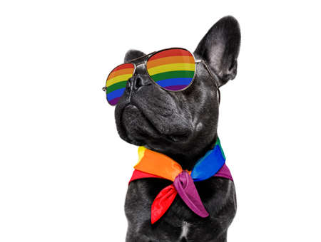 fairy  funny gay french bulldog  dog proud of human rights waving  with lgbt rainbow flag and sunglasses , isolated on white background