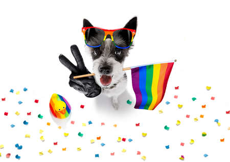 crazy funny gay homosexual  poodle terrier dog proud of human rights ,sitting and waiting, with rainbow flag tie  and sunglasses