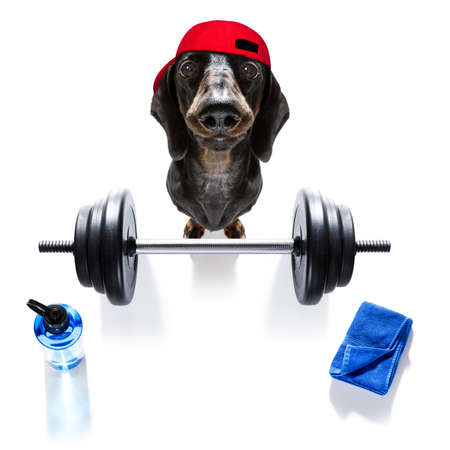 fitness sausage dachshund dog lifting a heavy big dumbbell, as personal trainer , isolated on white background