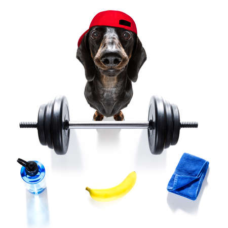 fitness sausage dachshund dog lifting a heavy big dumbbell, as personal trainer , isolated on white background and a banana fruit
