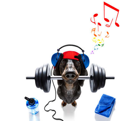 fitness sausage dachshund dog lifting a heavy big dumbbell, as personal trainer , isolated on white background, listening to music Фото со стока