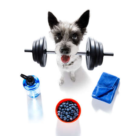 fitness poodle dog lifting a heavy dumbbell, as personal trainer , isolated on white background with healthy food or fruit