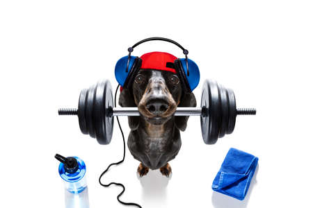Fitness sausage dachshund dog lifting a heavy big dumbbell