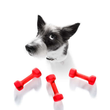 Fitness poodle dog with a heavy dumbbell, as personal trainer