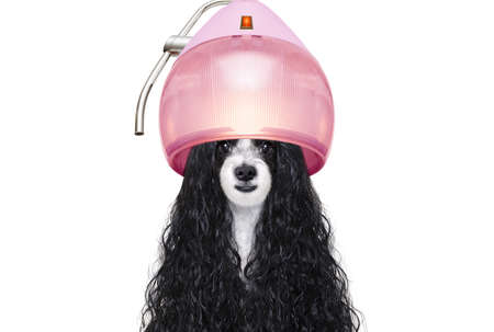 Dog at a pet salon getting a perm isolated on white background