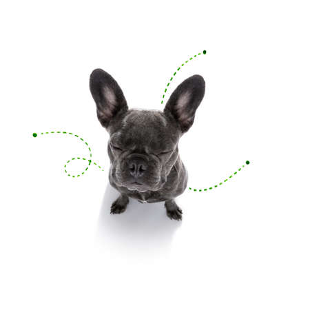 Concept of french bulldog with tick problems isolated on white background