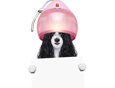 Dog at a pet salon getting a perm holding a blank card isolated on white background