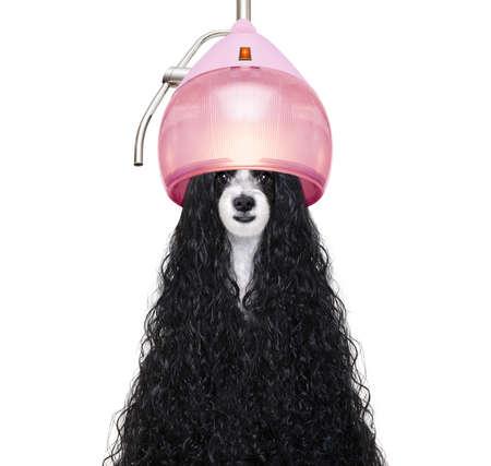 Chien aux cheveux longs dans un salon pour animaux obtenant une permanente isolé sur fond blanc Banque d'images