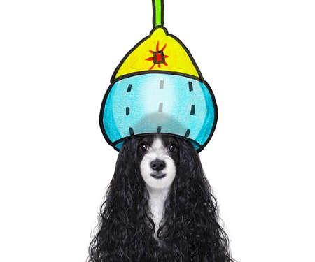 Dog with long hair at a pet salon getting a perm isolated on white background