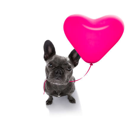 french bulldog in love for valentines or birthday  with red heart  balloon, isolated on white background Stock fotó