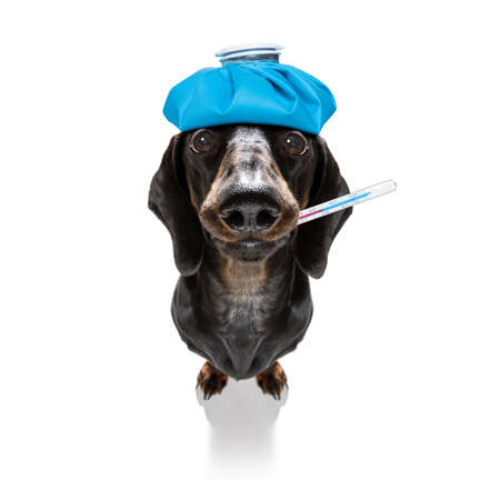 sick and ill dachshund sausage dog isolated on white background with ice pack or bag on the head, with thermometer and syringe vaccine