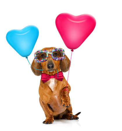 dachshund sausage dog  in love for valentines or birthday  with red heart  balloons, isolated on white background Stok Fotoğraf