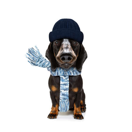 freezing dachshund sausage dog with wool scarf and cap  in winter or autumn fall, isolated on white background