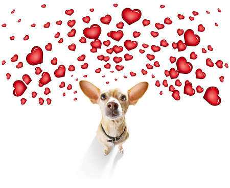 chihuahua dog  in love for valentines or birthday  , isolated on white background