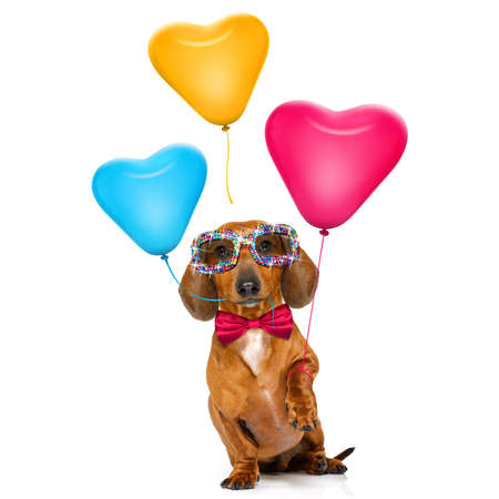 dachshund sausage dog  in love for valentines or birthday  with red heart  balloons, isolated on white background Stock Photo