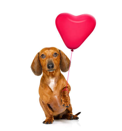 dachshund sausage dog  in love for valentines or birthday  with red heart  balloon, isolated on white background
