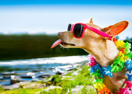 chihuahua dog sitting at water by the  sea, river or lake in summer holiday vacation , taking a selfie sticking out tongue Reklamní fotografie