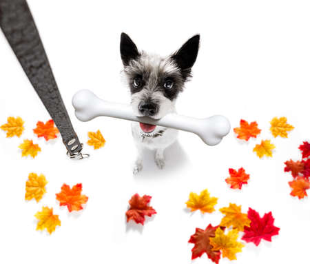 hungry poolde dog with a big white bone waiting for owner to go for a walk in autumn fall with leaves with leash