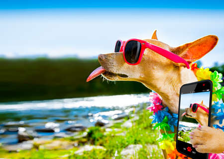 chihuahua dog sitting at water by the  sea, river or lake in summer holiday vacation , taking a selfie sticking out tongue Фото со стока