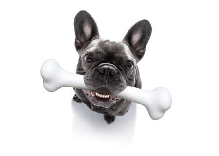 hungry french bulldog dog with a big white bone waiting for owner to go for a walk Фото со стока