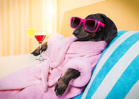 cool funny sausage dachshund dog resting and relaxing in spa wellness salon center ,wearing a pink bathrobe and fancy sunglasses, with martini cocktail