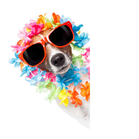 funny jack russell dog wirhg  hawaiian  lei and sunglasses with white banner isolated on white background