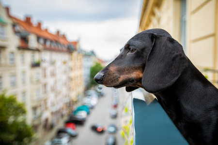 nosy watching sausage dachshund  dog form top of balcony, very curious and looking around