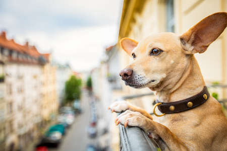 nosy watching podenco chihuahua dog form top of balcony, very curious and looking around