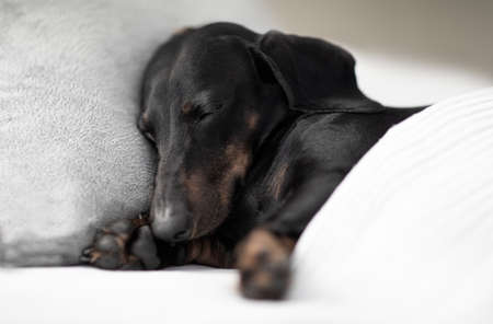sausage dachshund dog  sleeping under the blanket in bed the  bedroom, ill ,sick or tired, sheet covering its body Stock fotó