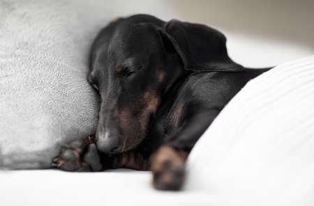 Wurstdackel Hund schläft unter der Decke im Bett das Schlafzimmer, krank, krank oder müde, Blatt bedeckt seinen Körper