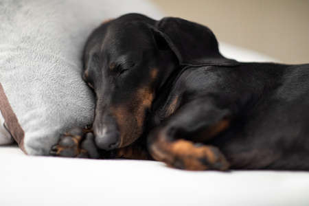 Sausage dachshund dog  sleeping under the blanket in bed the  bedroom