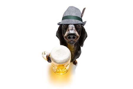 Bavarian dachshund or sausage  dog on white Zdjęcie Seryjne