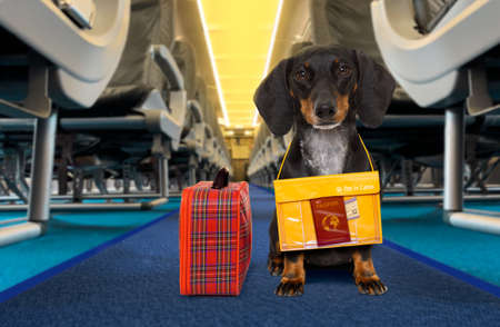 Dachshund sausage   dog  with luggage bag ready to travel as pet in cabin in plane or airplane as a passenger