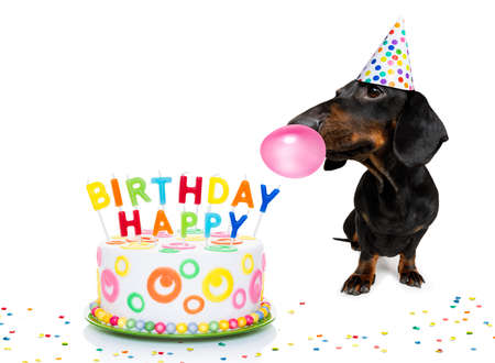 Dachshund or sausage  dog  hungry for a happy birthday cake with candles