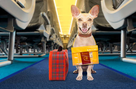 Chihuahua  dog  with luggage bag ready to travel as pet in cabin in plane or airplane Stock Photo