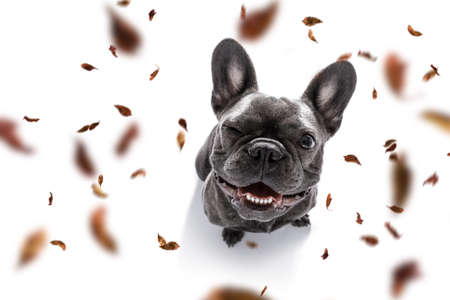 French bulldog dog waiting for owner to play and go for a walk with leash