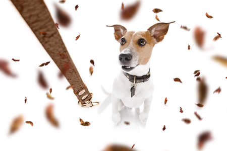 Jack russell terrier   dog waiting for owner to play  and go for a walk with leash, isolated on white