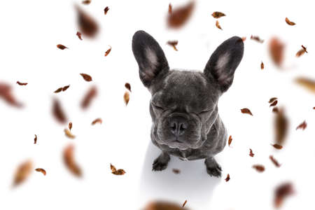 French bulldog  dog waiting for owner to play  and go for a walk with leash, isolated on white Stock Photo