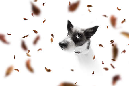 Dog waiting for owner to play  and go for a walk with leash, isolated on white Stock Photo