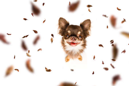 Chihuahua   dog waiting for owner to play  and go for a walk with leash, isolated on white