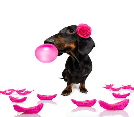 Sausage dachshund dog, with a valentines rose on head and on floor with bubble chewing gum