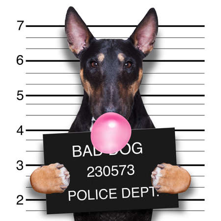 Ficha policial criminal de perro pitbull terrier en la estación de policía sosteniendo un cartel con chicle de burbuja, aislado en segundo plano.