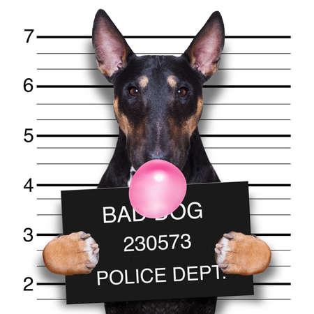 kryminalny mugshot psa pitbull terriera na posterunku policji trzymającego afisz z gumą do żucia bąbelkową, na białym tle na tle