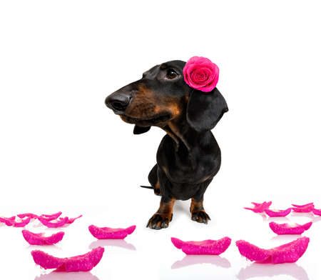 Sausage dachshund dog with a valentines rose on head and on floor
